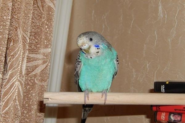 Вялого и малоподвижного попугая брать не стоит