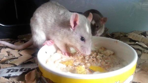 Составляем рацион питания крысы
