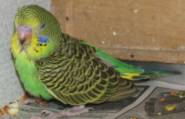 Симптом длительного поноса у попугая