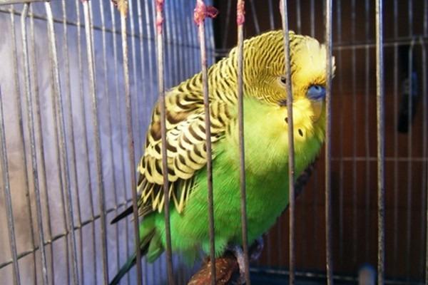 Последствие поноса у птицы - обезвоживание