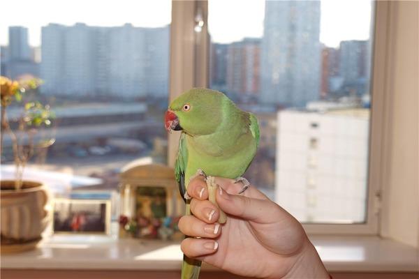 Ожереловый попугай в неволе