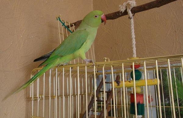 Взрослый представитель ожереловых попугаев