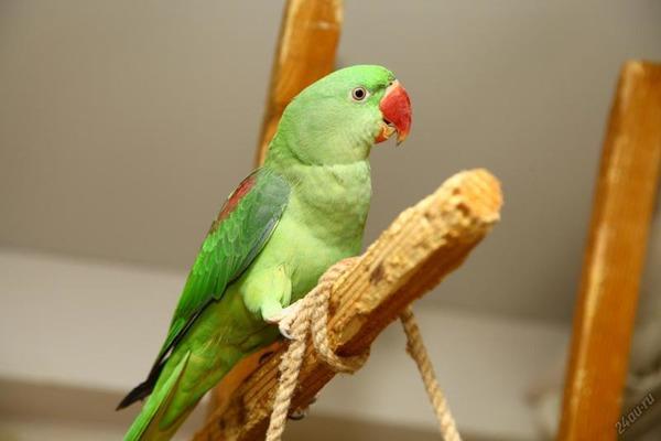 Отличительные черты александрийского попугая