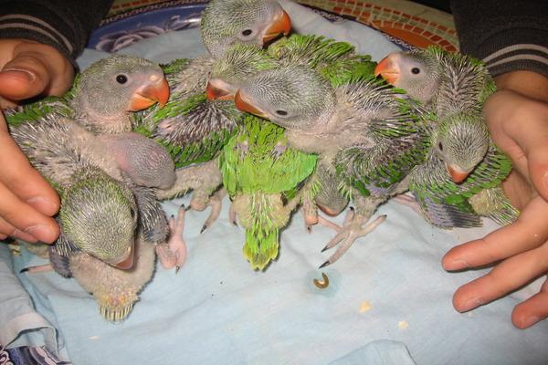 Птенцы александрийского попугая