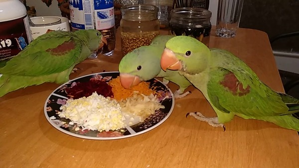 Рацион питания молодых попугаев