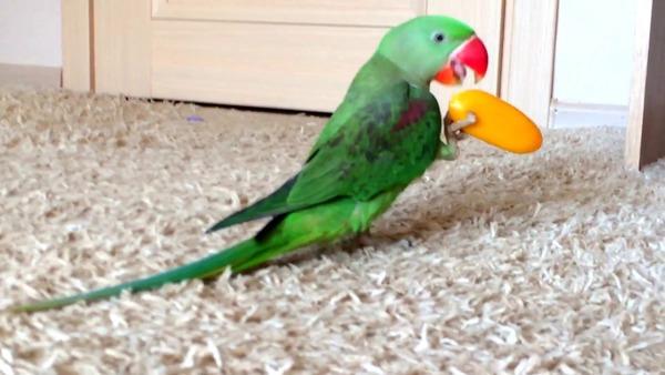 Александрийский попугай быстро привыкает к домашним условиям