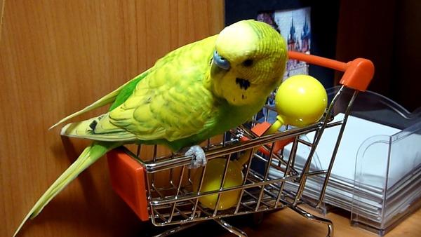 Развлечения попугая