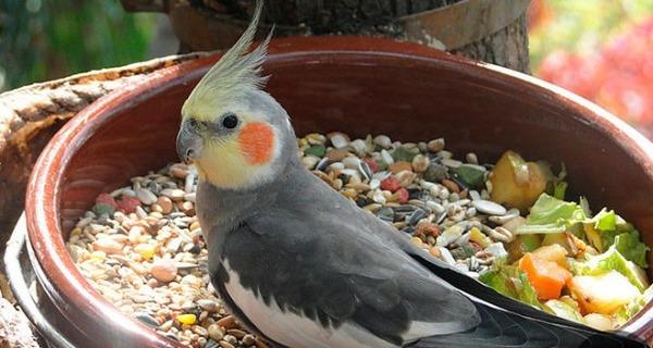 Рацион питания попугаев