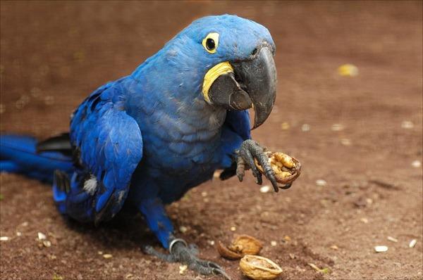 Попугай ара кушает орех