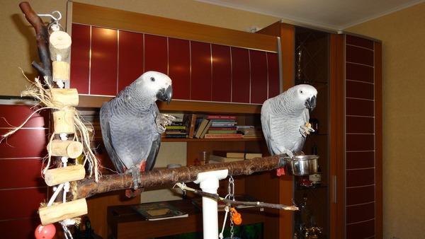 Попугаям жако нужны регулярные прогулки