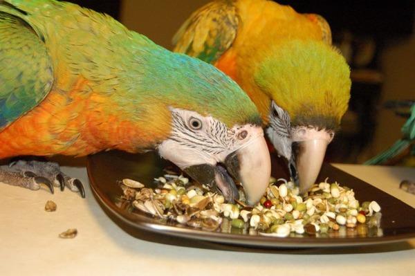 Орехи - лакомство для попугаев