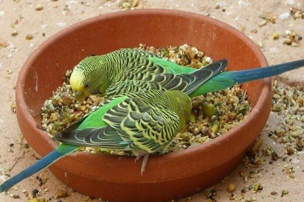 Попугайчики нуждаются в разнообразном питании