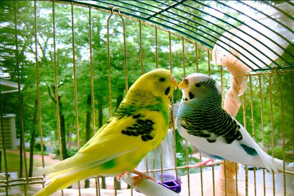 Условия для разведения попугаев