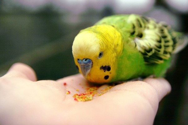 Учим попугайчика садиться на руку