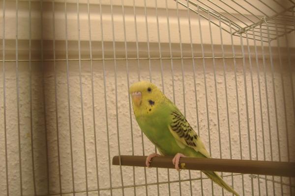 Дрессировка попугая - дело сложное и длительное