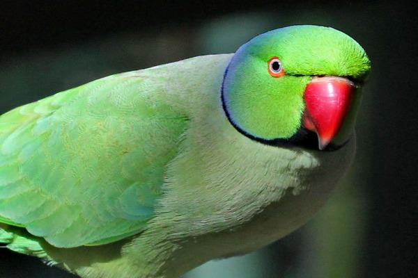 Внешний вид ожерелового попугая