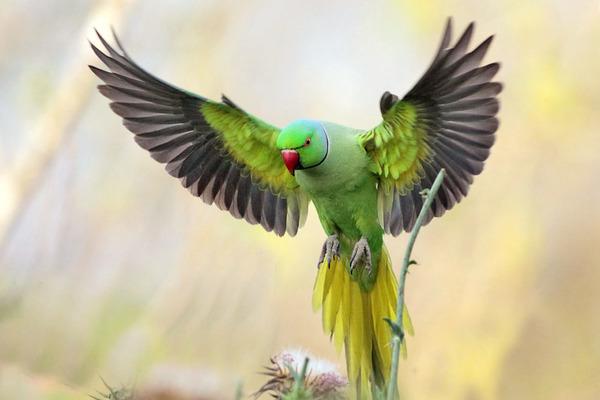 Попугай смотрится в полете великолепно