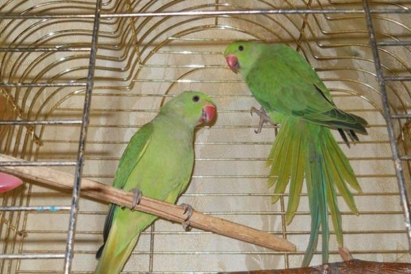 Клетка для ожереловых попугаев