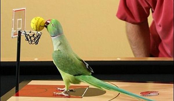 Попугай играет