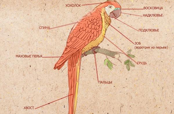 Внешнее строение попугая