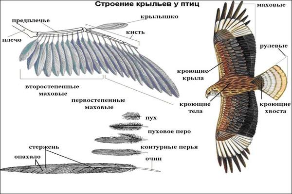 Строение крыльев птицы