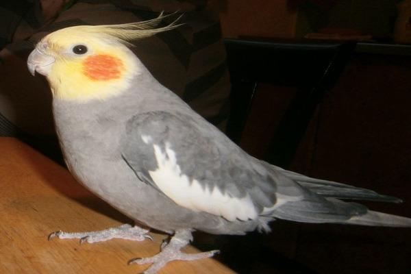 Преимущества попугаев корелла