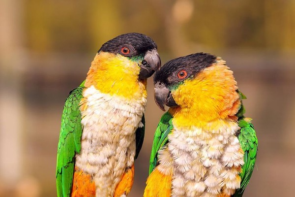 Попугаи каики в природе