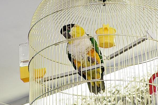 Клетка для попугая каика