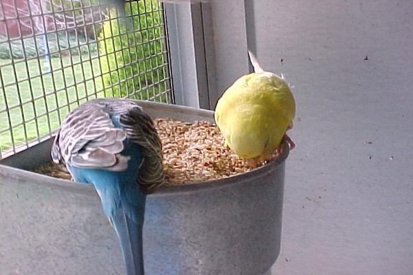 Каша - важный продукт рациона попугаев