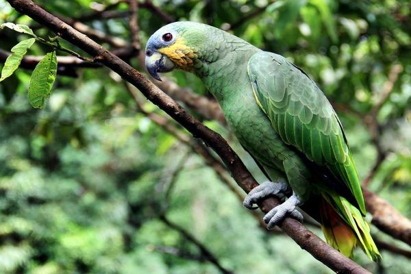 Попугай в дикой природе