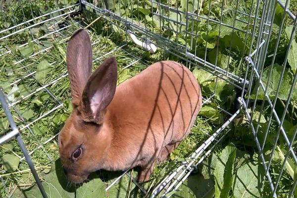 Кормление тюрингенских кроликов