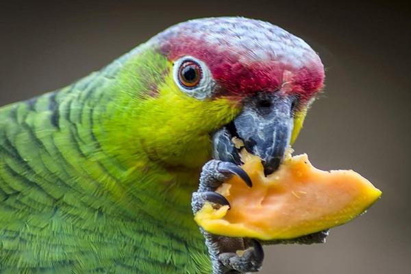 Амазон кушает фрукты
