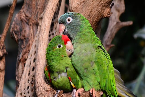 Ухаживание попугая амазон