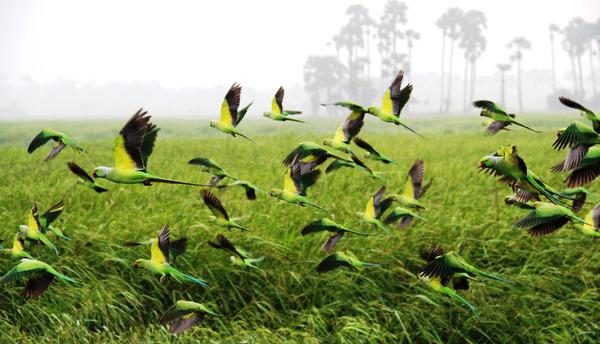 Набеги попугаев на фермерские поля