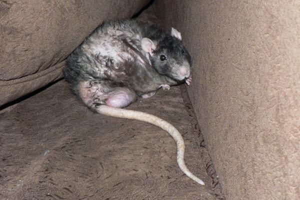 Крыса в природной среде