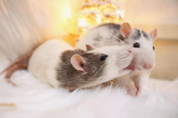 Крысы в домашних условиях