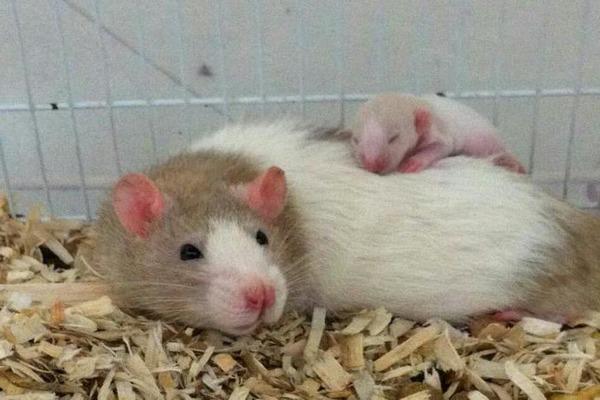Крысиная мама с малышом