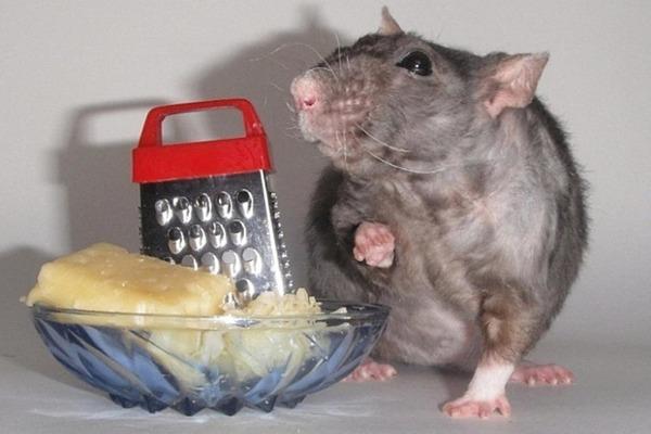 Что можно давать крысе кушать