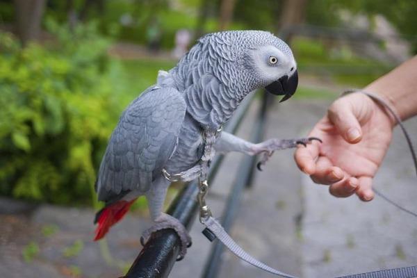Умный попугай жако