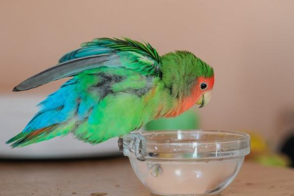 Открытая чаша для питья попугаю