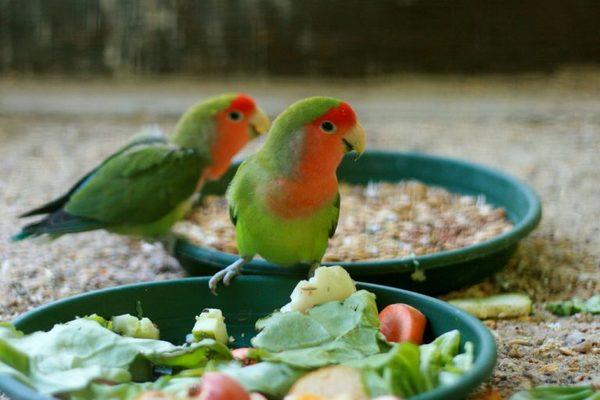 Рацион попугая неразлучника