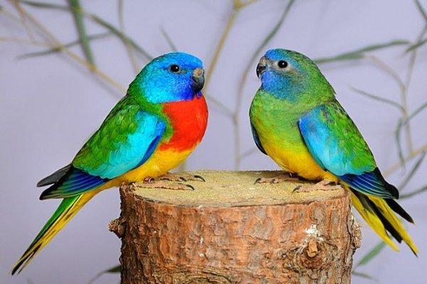 Лазурный попугайчик