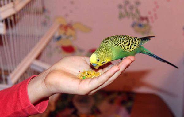 Попугайчик кушает пшено
