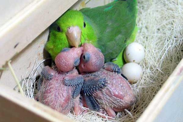 Появление птенцов