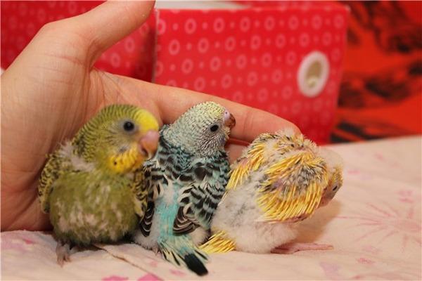 Уход за птенцами попугая