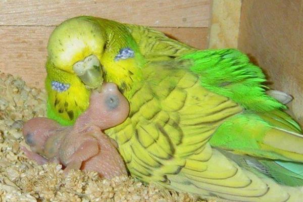 Естественное кормление новорожденного птенца