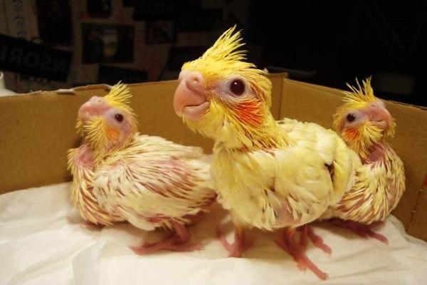 Птенцы ждут окончания уборки в их жилище