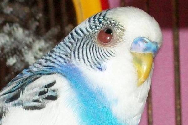 Воспаление глаза у волнистого попугая лечение thumbnail