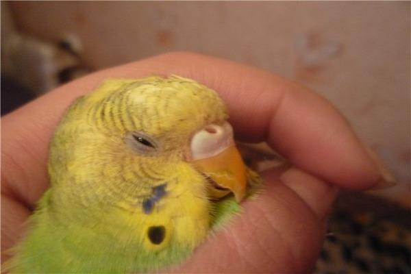 У попугайчика наблюдается помутнение органов зрения