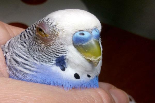 У попугая опухоль глаза